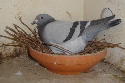 wat vinden duiven lekker