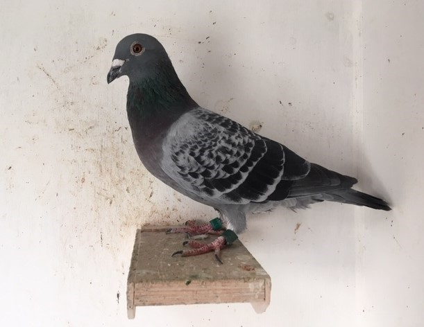 Weblog Ton van der Walle, Archie en mijn duivenkennis